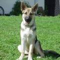 Vokiečių aviganis - vilkinis šuo