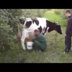 Karvutė maitintoja – Pienas, Rūgpienis, Grietinė, Sviestas, Varškė, Sūris