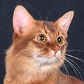 Kačių veislės: Somali katės