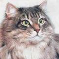 Kačių veislės: Sibiro katės