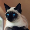 Kačių veislės: Siamo katės
