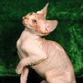 Kačių veislės: Sfinksų katės