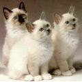 Kačių veislės: Birmos katės
