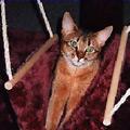 Kačių veislės: Abisinijos katės
