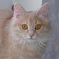 Kurilų Bobteilas - super katinas