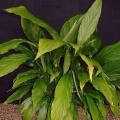 Akvariuminiai augalai: Spathiphyllum wallisii