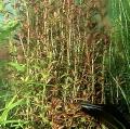 Akvariuminiai augalai: Rotala rotundifolia