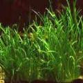 Akvariuminiai augalai: Lilaeopsis mauritiana