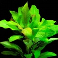 "Akvariuminiai augalai: Hygrophila corymbosa ""Stricta"""