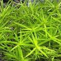 Akvariuminiai augalai: Heteranthera zosterifolia