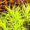 Akvariuminiai augalai: Eichhornia diversifolia