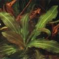 Akvariuminiai augalai: Echinodorus osiris