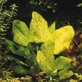 "Akvariuminiai augalai: Echinodorus schlueteri ""Leopard"""