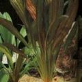 "Akvariuminiai augalai: Siauralapis Echinodorus ""Rubin"""
