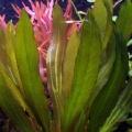 """Akvariuminiai augalai: Echinodorus """"Rubin"""""""