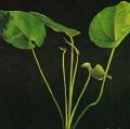 Akvariuminiai augalai: Echinodorus macrophyllus