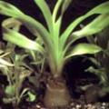 Akvariuminiai augalai: Crinum thaianum