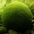 Akvariuminiai augalai: Cladophora aegagropila