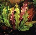 Akvariuminiai augalai: Barclaya longifolia