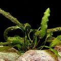 Akvariuminiai augalai: Aponogeton madagascariensis