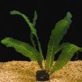Akvariuminiai augalai: Aponogeton boivinianus