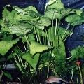"""Akvariuminiai augalai: Anubias barteri var. Caladiifolia """"1705"""""""
