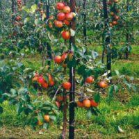 Tankesnis sodas – gausesnis derlius