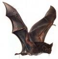Brazilijoje šikšnosparnių vampyrų aukomis tapo jau 11 žmonių