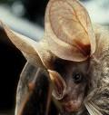 Šikšnosparniai vampyrai gelbėjasi nuo pavojaus bėgdami
