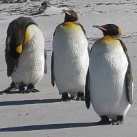 Pingvinų meilės trikampis