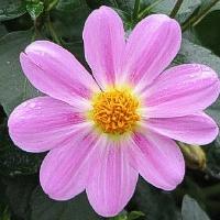 Tavo laukinė gėlelė