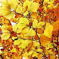 Auksiniai lapai