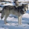 Lietuvoje gyvenančių vilkų apsauga