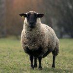 Apie avieną ir avienos sriubą – avienę