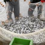 Nesaikinga stintų žvejyba