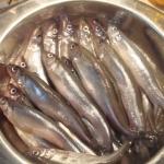 Stintų žvejyba – atrakcija Kuršių mariose